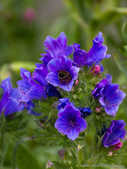 Deep blue (Andrea_Naselli) Tags: flowers flower macro garden insect munich bee botanicalgarden botanischergarten tamron70300 giardinobotanico tamronlens