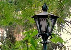 Lamp (Khaled M. K. HEGAZY) Tags: brown white black tree green nature lamp leaves metal closeup club leaf nikon branch outdoor egypt foliage cairo coolpix sporting maadi p520