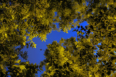 On a Clear Day (Lindaw9) Tags: blue trees sky leaves maple poplar colours foliage ash