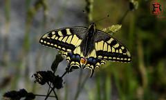 01910-19 de junio de 2016 (Tres-R) Tags: espaa insectos animals butterfly insect spain galicia animales mariposa pontevedra riasbaixas airelibre morrazo tresr rodolforamallo