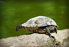 Turtle Balance (MTSOfan) Tags: turtle reptile balance trick