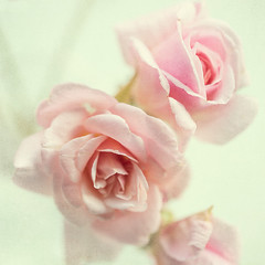 Pink (borealnz) Tags: pink roses square soft sweetheart cecilebrunner