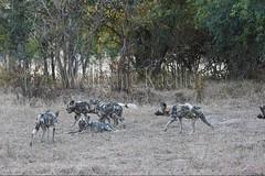 10075527 (wolfgangkaehler) Tags: africa nationalpark african wildlife predator zambia africanwilddog southernafrica predatory 2016 africanhuntingdog zambian southluangwanationalpark africanwilddoglycaonpictus