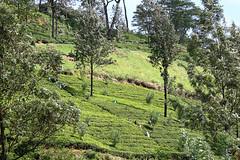 IMG_7199 (Kev Gregory (General)) Tags: holiday industry cup leaves workers october tea sri lanka plantation region 2009 province beruwala talawa sabaragamuwa karagastalawa
