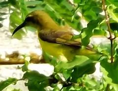 Olive-backed Sunbird, Nectarinia jugularis (asterisktom) Tags: cocowhitebeachresort cocowhitebeach resort olivebackedsunbird sunbird nectariniajugularis tripthaiphil20142015 philippines february 2015 bohol bird vogel ave 鸟 niao птица 鳥
