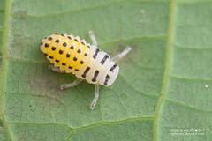 Ladybird beetle larva (Coccinellidae) - DSC_7410 (nickybay) Tags: macro yellow singapore beetle ladybird larva coccinellidae venusdrive venusloop