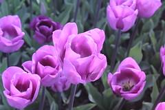 _MG_4320 (Gkmen Kmrt) Tags: flower tulip 2015 emirgan laleler