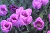 _MG_4320 (Gökmen Kımırtı) Tags: flower tulip 2015 emirgan laleler