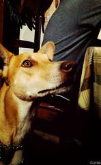 Caf (Jofran C.) Tags: dog brown love dogs beautiful nose ecuador eyes ears explore lovely ecuadorian dogeyes ecuadoriandog