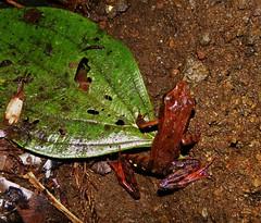 Lithobates warszewitschii (jan.tuns) Tags: amfibieen