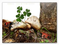 Treboles - Diaz De Vivar Gustavo (Diaz De Vivar Gustavo) Tags: parque insectos mushroom garden de hojas jardin gustavo fungus clover diaz champignons encuentro ranelagh trefoil treboles vivar