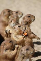 "Prairie dog, ""One in a million"" (Nougat511) Tags: animals canon zoo prairiedog cuties oneinamillion teamcanon"