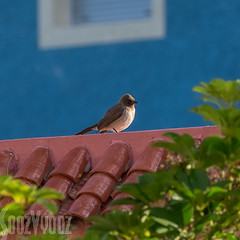 Whitethroat on Wall (Sue_Hutton) Tags: rural spring morocco maroc tangier tanger whitethroat
