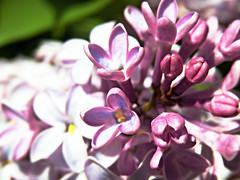 About to bloom (V and the Bats) Tags: pink flowers plant flora springflowers lilacs blooming abouttobloom babypink pinklilacs