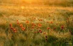 Cuando la luz despierta (josechino2424) Tags: color luz rojo amanecer amapolas humanesdemadrid josechino2424
