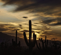 Saguaro Sunset (L Geoffroy) Tags: arizona clouds desert places sunrisesunset tucson sky america barb barbed cacti cactus carnegiea danger destinations dry giants gigantea green horticulture hot huge locations national needle needles orange painful park plant pointy prickles prickly saguaro scenic sharp silhouette south spike spine sticky sun sunset thorns tourism travel untouchable usa wary west western world