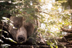 Hiding (Jacqueline Sinclair) Tags: bear brown tree face look closeup fur nose branch branches watch hide stare grizzly paws hiding claws