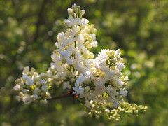 Spring Lilac (ekaterina alexander) Tags: pictures flowers england tree nature photography sussex spring blossom branches lilac bloom alexander ekaterina