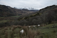 Snowdonia, Wales (Sandra Ahn Mode) Tags: uk nature wales landscape sheep britain snowdonia mountians