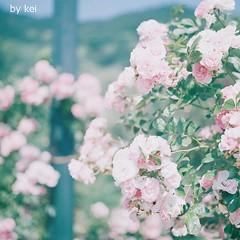 . (k) Tags: film rose hasselblad500cm fijipro400h