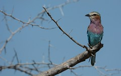 Lilac Breasted Roller in Hwange (Geoff Cooke: www.geoffs-trains.com) Tags: bird zimbabwe hwange lilacbreastedroller