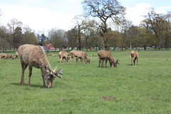 Deer (paulbeardmore1) Tags: nottingham nature stag wildlife deer wollaton wollatonhall