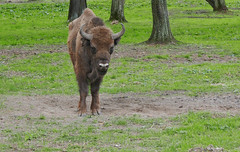 Big Friend - the last free Bisons in Europe (roomman) Tags: world park green nature beautiful grass animal forest bug landscape zoo nationalpark natural free poland polska national end huge bialowieza bison 2016 biaowiea wisent reser djungle wisente