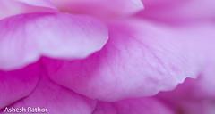 Delicate (asheshr) Tags: pink flower macro rose petals nikon soft dof pastel depthoffield delicate flowercloseup pinkrose flowermacro beautifulflower pinkpetals beautifulmacro d7200 nikond7200