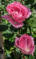 ROSE  (MAGGIO 2016) (MY SECRET WINDOW) Tags: red roses plant flower macro rain rose foglie garden leaf rosa foglia fiore acqua pioggia calma giardino roseto pianta gocce petalo rossa allaperto fioritura pastello