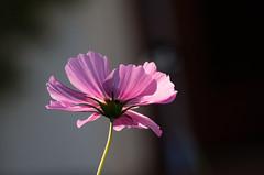 Jeux de lumire sur une fleur mauve (Northern Dinkum) Tags: voyage allemagne neumnster plantesetfleurs irmisgarten