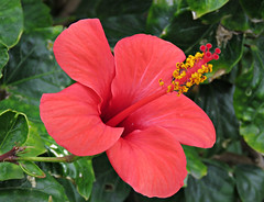 Red Lips! ('cosmicgirl1960' NEW CANON CAMERA) Tags: flowers red green nature yellow gardens spain parks espana hibiscus costadelsol andalusia puertobanus marbella yabbadabbadoo worldflowers