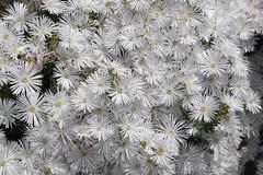 /Delosperma karroicum  (nobuflickr) Tags: awesomeblossoms 20160519p1060314 delospermakarroicum  whiteiceplant