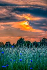 Cornflowers in the sunset (Harry Sterken) Tags: sunset zonsondergang hdr cornflowers korenbloemen