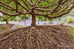 Playground tree (Tatters ) Tags: park tree branches roots australia trunk malvaceae hibiscustiliaceus rocksriversidepark seventeenmilerocks taliparititiliaceum
