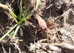 Shield-backed Katydid at Walpack (lifer) (Tombo Pixels) Tags: newjersey nj katydid lifer walpack shieldbacked twb1 shieldbackedkatydid naturewalk2016 walpack160033
