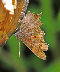 CAC038082a (jerryoldenettel) Tags: butterfly insect nm comma 2016 nymphalidae polygonia hoarycomma polygoniagracilis nymphalinae cibolaco cibolanf ojoredondocampground