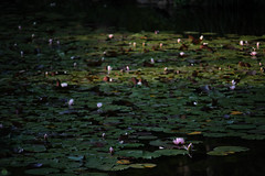 20160522-D7-DS7_2601.jpg (d3_plus) Tags: park street sky plant flower nature japan garden walking drive tokyo nikon scenery bokeh fine daily bloom   nikkor   kanagawa   dailyphoto touring     thesedays  fineday  jindaiji          d700 kanagawapref nikond700