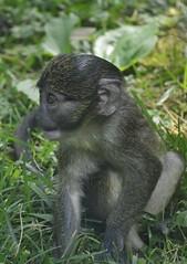 Allen's swamp monkey (Allenopithecus nigroviridis) _DSC0151 (ikerekes81) Tags: baby macro cute animal closeup mammal zoo monkey washingtondc smithsonian dc washington nikon allens national swamp nationalzoo kerekes ik istvan guenon thinktank nikond3200 dczoo allensswampmonkey smithsoniannationalzoologicalpark smithsoniannationalzoo d3200 allenopithecusnigroviridis washingtondczoo oldworldmonkey nigroviridis zoosmithsonian 18105mm allenopithecus sb700 istvankerekes allensswampmonkeyallenopithecusnigroviridis