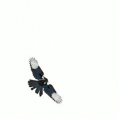 Tomcat (Paul Chan - Canada) Tags: birds birdsinflight magpie nikond500 paulchancanada nikonafs70200mm28gedvr1 201606235004780