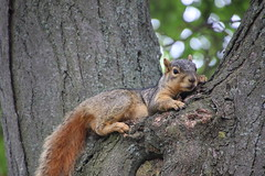 Squirrels in Ann Arbor at the University of Michigan (May 27, 2016) (cseeman) Tags: squirrels annarbor michigan animal campus universityofmichigan umsquirrels05272016 spring eating peanut mayumsquirrel gobluesquirrels umsquirrel foxsquirrels easternfoxsquirrels michiganfoxsquirrels universityofmichiganfoxsquirrels