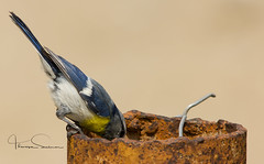 are you ok? (tsd17) Tags: birds silkroad uzbekistan nesting yellowbreastedtit