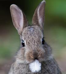 Rabbit (kfjmiller) Tags: 150600mm animal bunny cute d610 feather glasgow nature nikond610 outdoors park queenspark rabbit tamron widlife wildlife simplysuperb