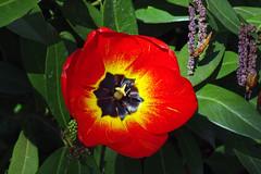 Frhling (Foto Hardy) Tags: flowers blumen frhling tulpe blten