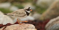 Putting its best foot forward. (Sandra Standbridge.) Tags: bird animal rock scotland outdoor costal ringedplover charadriushiaticula northuist puttingitsbestfootforward