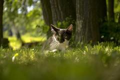 Maak/Kitten (Kuzz1984) Tags: green nature look eyes kitten priroda maka oi zelenilo maak