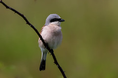 Red Backed Shrike (Simon Stobart (back but busy)) Tags: red backed shrike branch perched