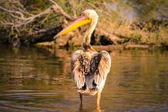Pelican (malc1702) Tags: pelican birds largebirds nature migration migratorybirds birdinwater nikond7100 tamron150600 outdoor animals water wildlife closeup beak flickrunitedaward fantasticnature