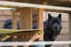 7/365 (katet_j) Tags: dogs dog sharpei husky