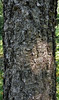Botanical garden (Gjabu) Tags: ботаническийсадцицина москва ботсад природа березадаурская moscow botanicalgarden nature черная betuladahurica