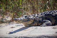 Nile crocodile (loveexploring) Tags: africa crocodylusniloticus namibia nilecrocodile okavangoriver animal apexpredator crocodile outdoors predator reptile tooth wildlife